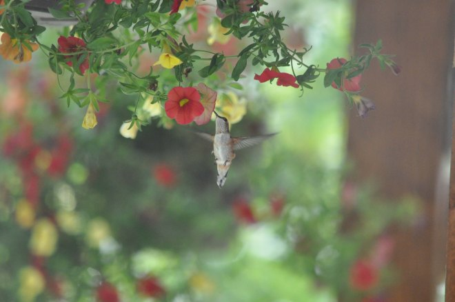 Hummingbird feeds right outside of Chilliwack River Rafting's office!