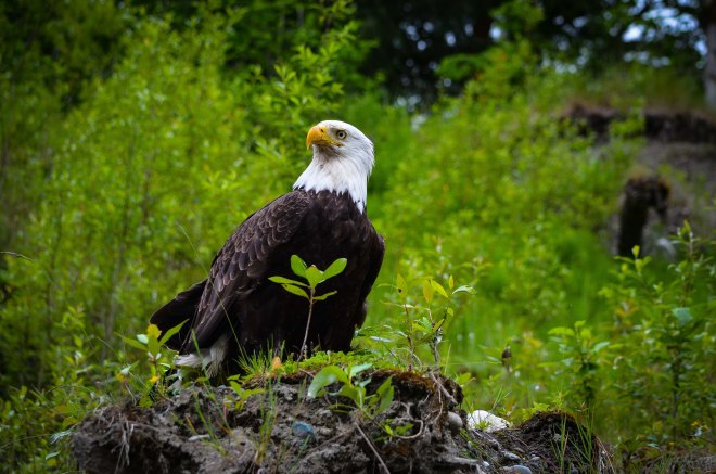 An eagle watches the rafts go by on the Classic!