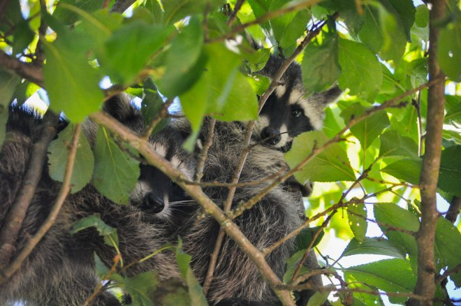 Baby racoons in the pear tree at Chilliwack River Rafting's resort!